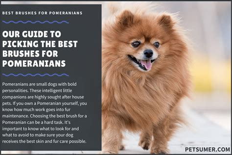 12 Best Brushes for a Pomeranian