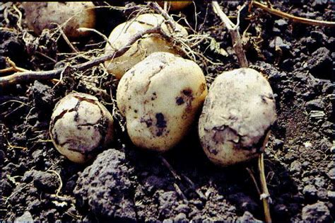 Latest News On Bacterial Ring Rot Detection - Growing Produce