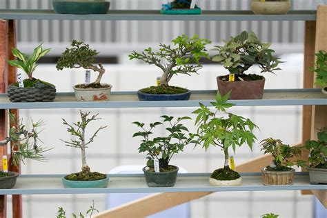 The Best Indoor Bonsai Tree Varieties and Caring for