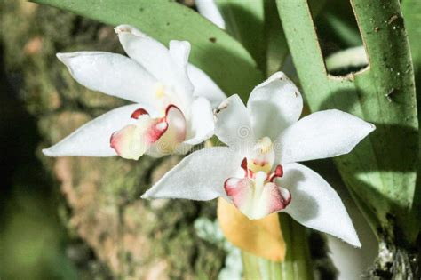 Orchid (endemic Plants) From Rainforest Sourthern Stock