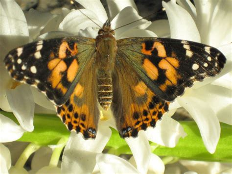 These are the butterflies that can be shipped into