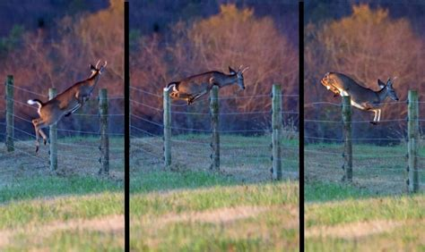 How High Can A Whitetail Deer Jump? - The Survival Life